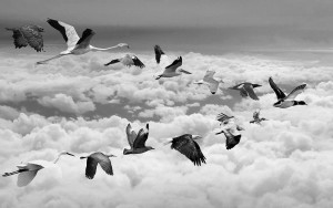 migration vs immigration flock of birds flying over the clouds