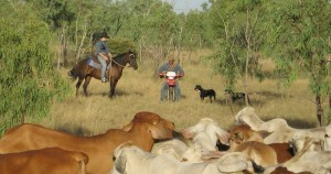 working holiday australia jobs mustering cattle